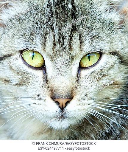 Closeup Portrait of The Head of Grey Cat