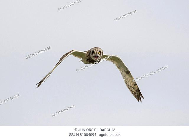 Short-Eared Owl (Asio flammeus) in flight while calling. Germany