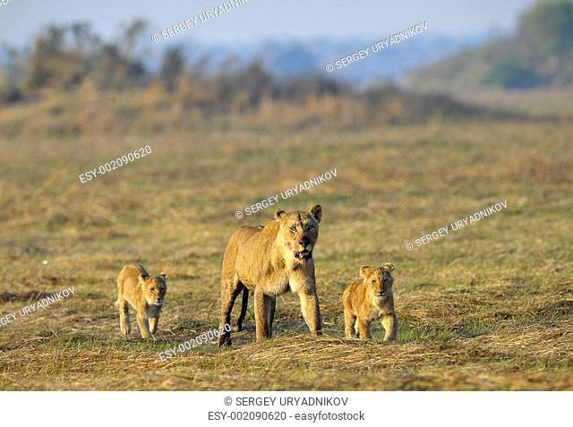 Lioness after hunting with cubs