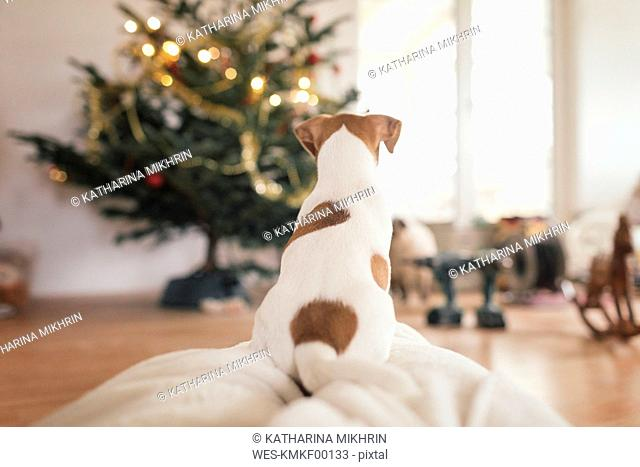 Jack Russel Terrier sitting in front of Christmas tree