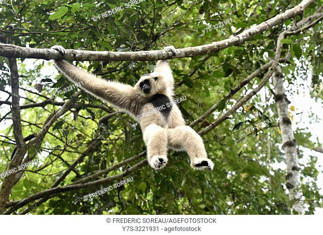 Female pileated gibbon swinging on a tree branch, Siem Reap province, Cambodia, South east Asia