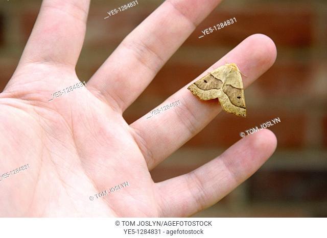 Scalloped Oak Moth Crocallis elinguaria on hand, England, UK