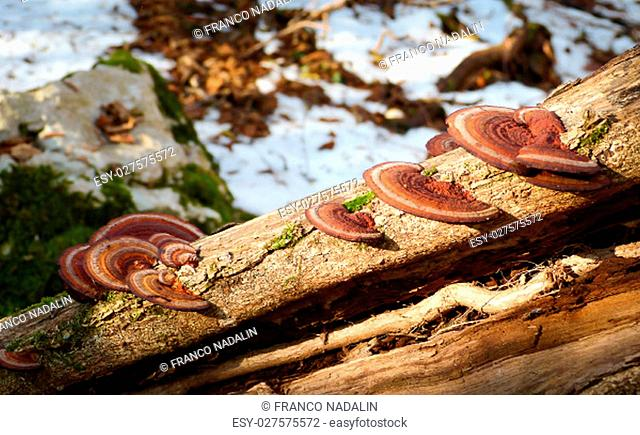 Colorful tree mushrooms on an old trunk with natural background