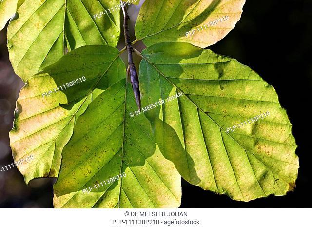 European beech Fagus sylvatica leaves in autumn, Belgium