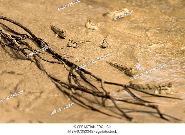 Mudskipper in Indonesia