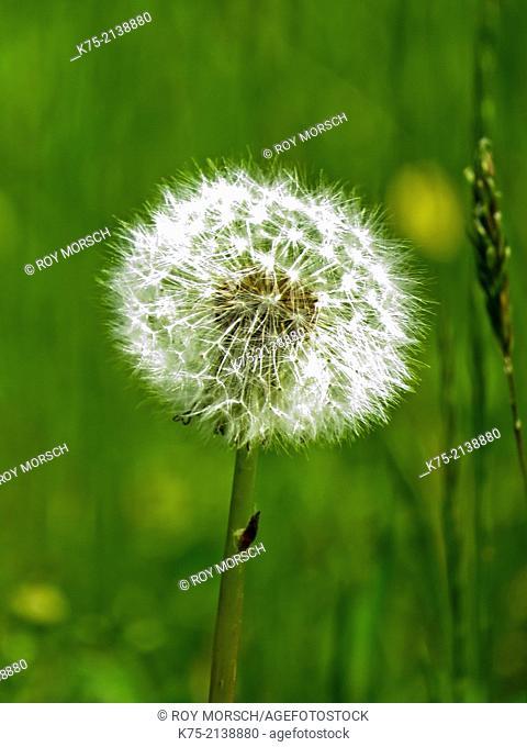 Seed head of dandelion