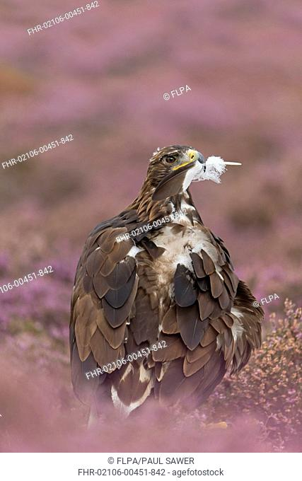 Golden Eagle (Aquila chrysaetos) juvenile, with feather in beak plucked during preening, standing amongst flowering heather, September (captive)