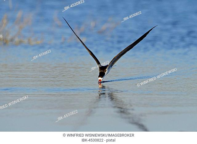 African skimmer (Rynchops flavirostris), fishing, Chobe River, Chobe National Park, Botswana