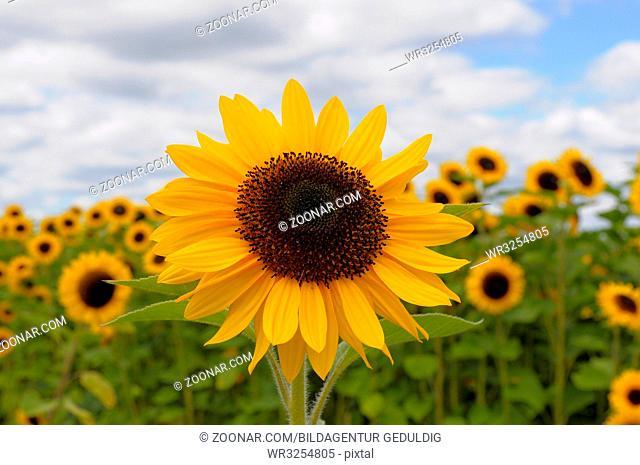 Baden-Württemberg, Schwarzwald, Hallwangen, Sonnenblumenfeld, einzelne Sonnenblume (Helianthus annuus)