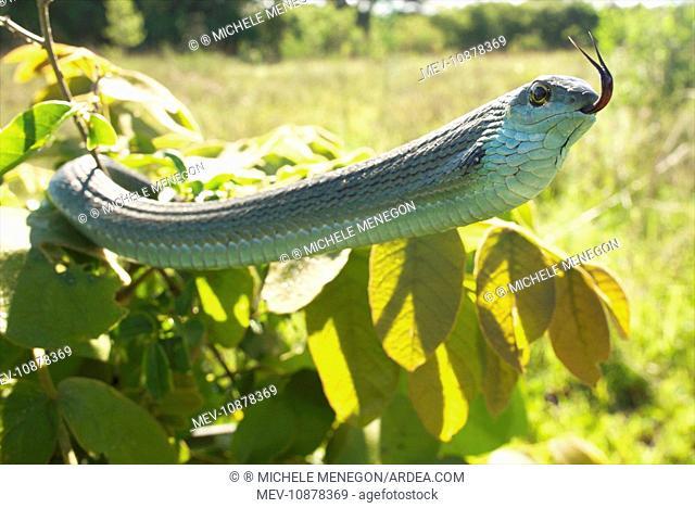 Boomslang - adult in defensive display (Dispholidus typus). Tanzania - Africa