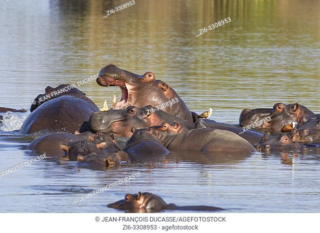 Hippopotamuses (Hippopotamus amphibius), herd with young hippo, an adult fighting, piled one on the other, bathing, with two African jacanas (Actophilornis...