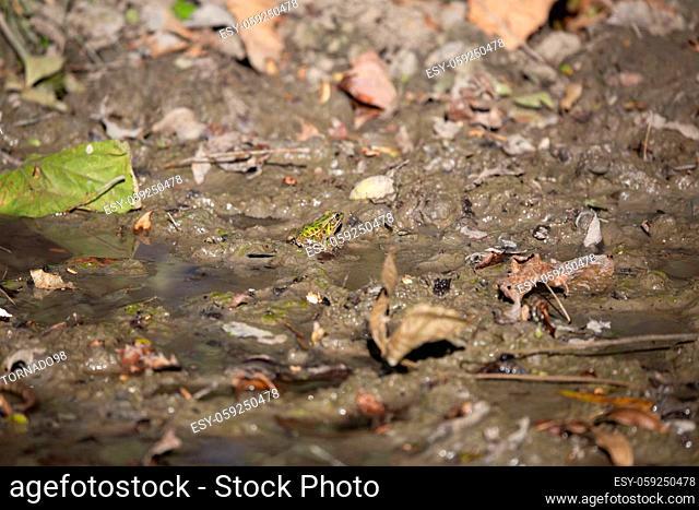 Bright green leopard frog (Lithobates sphenocephalus utricularius) in mud