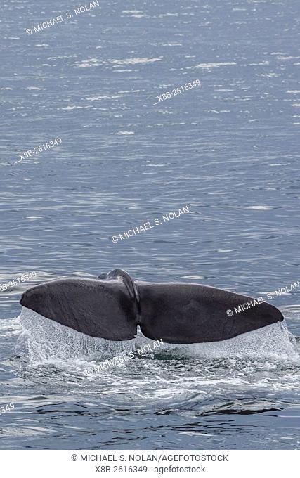 Adult sperm whale, Physeter macrocephalus, flukes-up dive near Isla San Pedro Martir, Baja California, Mexico