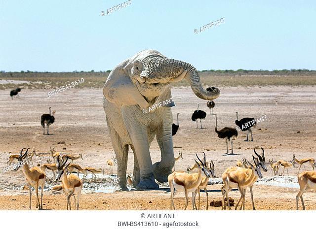 African elephant (Loxodonta africana), elefant after mud bath in a waterhole with impalas and ostriches, Namibia, Etosha , Etosha National Park, Naumutoni