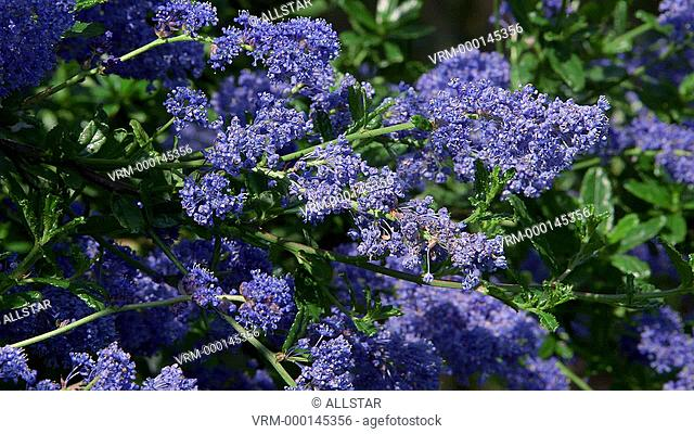 CEANOTHUS DARK STAR SHRUB; SCARBOROUGH, NORTH YORKSHIRE, ENGLAND; 01/06/2014