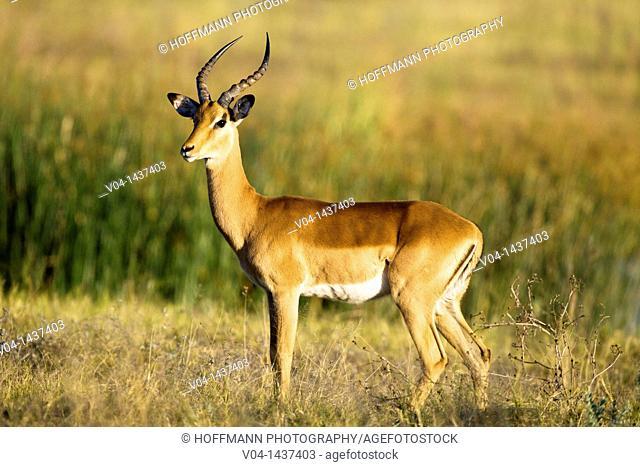 A male impala (Aepyceros melampus) in Botswana, Africa