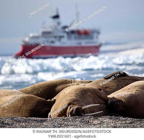 Walrus Bull (Odobenus rosmarus) on the beach at Torellneset on Nordaustlandet. Svalbard Norway