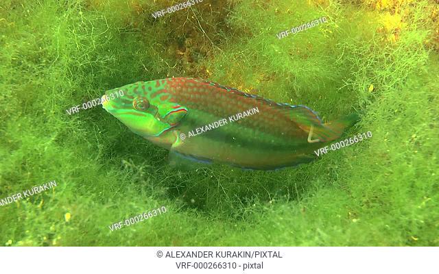 Ocellated wrasse (Symphodus ocellatus): Male ventilate roe in the nest, medium shot. Black Sea. Ukraine