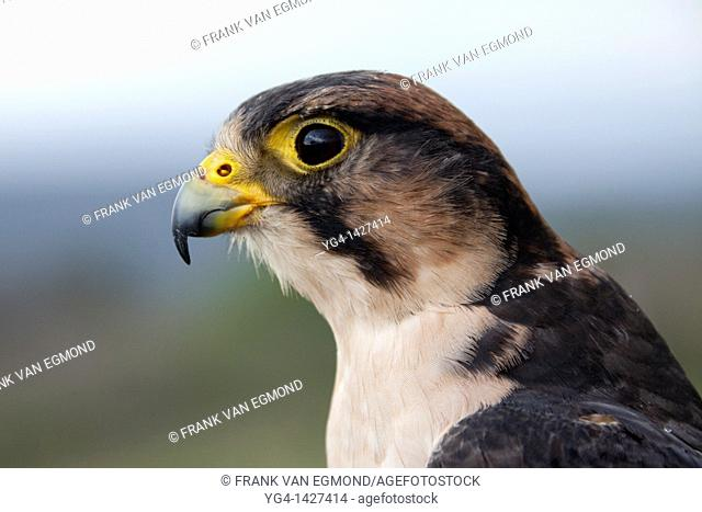 Lanner Falcon portrait Falco biarmicus  Shot under controlled conditions  October 2010  African Bird of Prey Sanctuary  Kwazulu-Natal, South Africa
