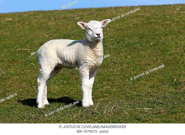 Lamb, Easter lamb, Domestic Sheep (Ovis ammon f. Aries) on a dyke, Schleswig-Holstein, Germany, Europe