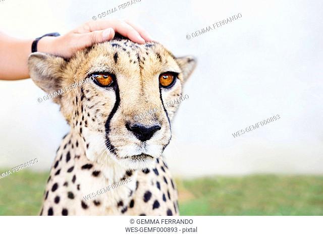 Namibia, Kamanjab, man's hand petting a tame cheetah