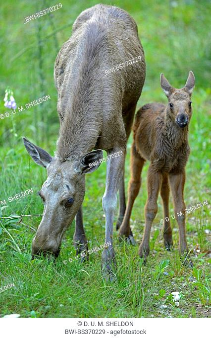 elk, European moose (Alces alces alces), cow moose with calf on a clearing, Germany, Bavaria, Bavarian Forest National Park