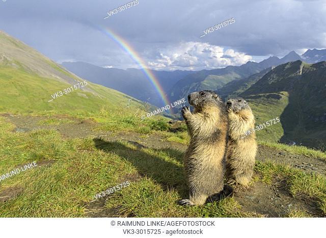 Alpine Marmot, Marmota marmota, two standing animals with rainbow, Hohe Tauern National park, Austria