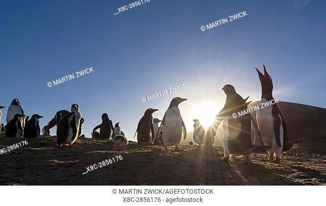 Gentoo Penguin (Pygoscelis papua), Falkland Islands. Colony. South America, Falkland Islands, January