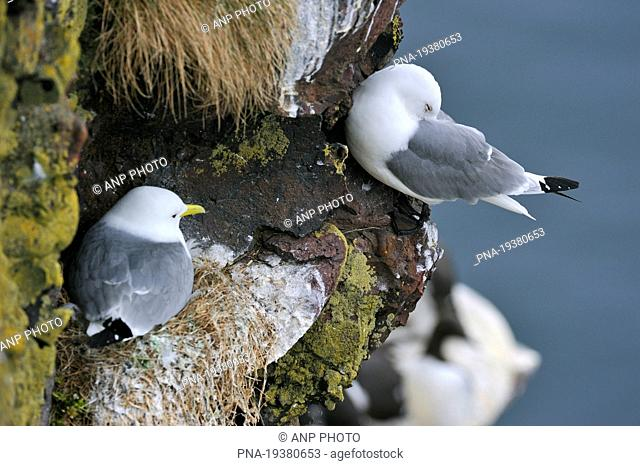 Black-legged Kittiwake Rissa tridactyla - Fowlsheugh Nature Reserve, Kincardineshire, Scotland, Great Britain, Europe