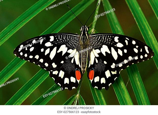 Beautiful butterfly from Tanzania. Citrus swallowtail