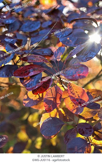 COTINUS COGGYGRIA 'ROYAL PURPLE' IN SUNLIGHT