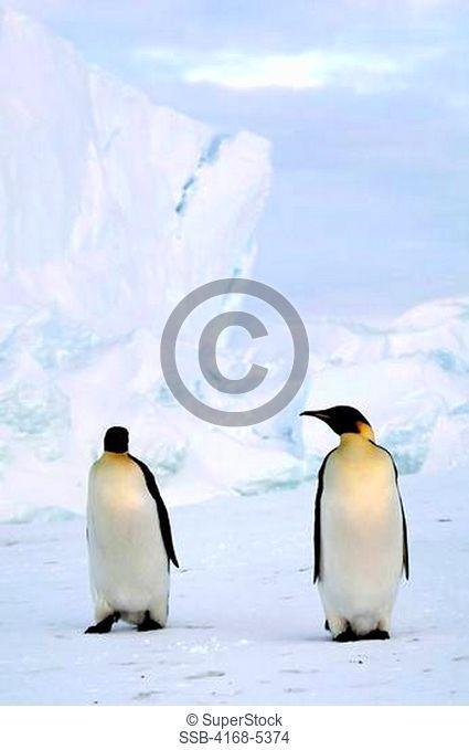antarctica, riiser-larsen ice shelf, emperor penguins on fast ice, iceberg in background