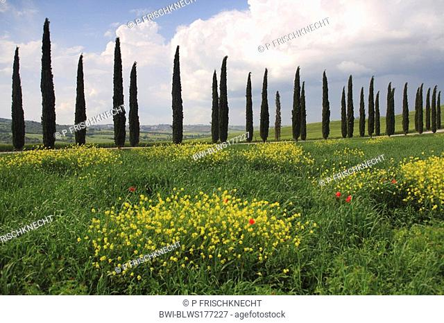 hilly landscape with fallow land and cypress avenue, Italy, Tuscany