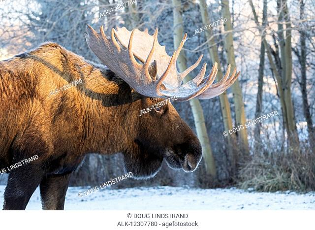 Evening light shines on the antlers of a large bull moose in the Anchorage area, Southcentral Alaska, winter