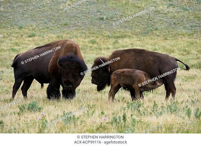 Buffalo bison bison, Bull, Cow Calf Feeding, Waterton Lakes National Park, Alberta, Canada