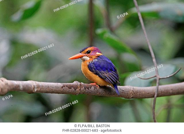 African Pygmy Kingfisher Ispidina picta adult, perched on branch, Gambia, december
