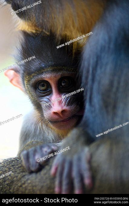 28 July 2020, Saxony-Anhalt, Magdeburg: A Mandrill boy lies in his mother's lap at Magdeburg Zoo. Midsummer is the ideal time to observe young animals at the...