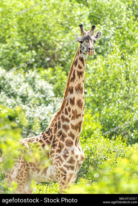 Northern Tanzania, Arusha National Park, Giraffe, portrait North Tanzania, Arusha National Park, armed ranger escorts a tourist