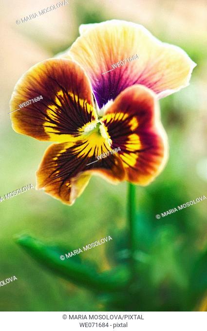 Brown Pansy Flower. Viola x wittrockiana. July 2006, Maryland, USA