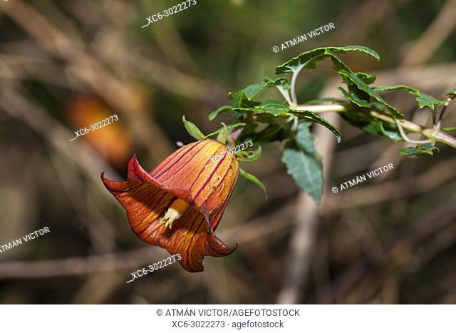 Canarina canariensis flower, poplarly known as bicacaro. Canary Islands, Spain