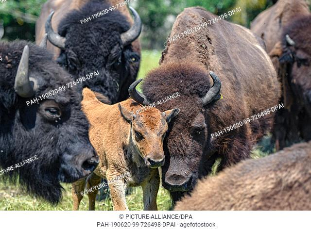 19 June 2019, Brandenburg, Kleptow: Several bison, including a calf, can be seen in a game enclosure by Thomas Golz, owner of the game enclosure Golz Moose and...