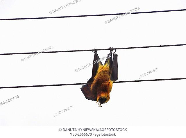 Friendly fruit bat died from burning on electric high voltage cables, Africa, Mauritius, Black River Gorge