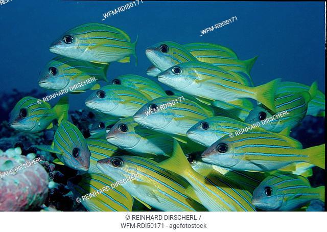 Fivelined snapper, Lutjanus quinquelineatus, Indian Ocean Ari Atol Maayafushi, Maldives Island