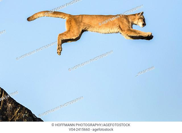 Adult mountain lion (Puma concolor) jumping from a rock, captive, California, USA