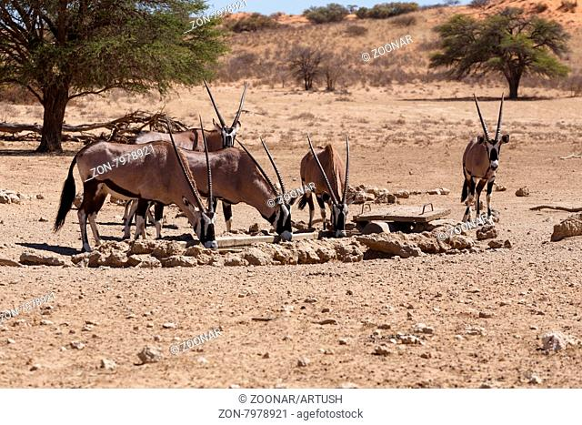 Gemsbok, Oryx gazella,dominant Gemsbok antelope in the park, Kgalagadi on waterhole, South Africa