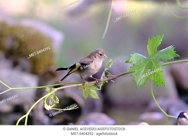 Young goldfinch (Carduelis carduelis), North of Spain