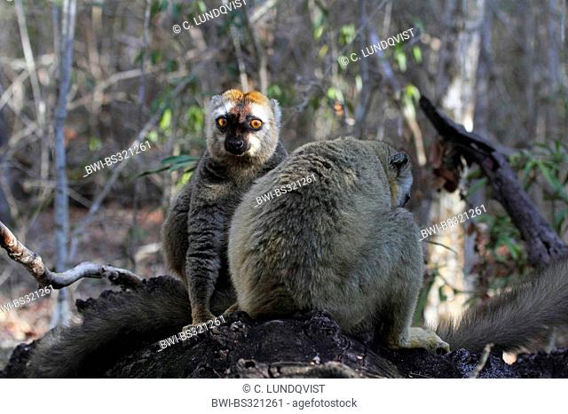 Red-fronted lemur. Red-fronted brown lemur, Southern red-fronted brown lemur (Eulemur rufifrons), two lemurs sitting on fallen tree trunk, Madagascar, Toliara