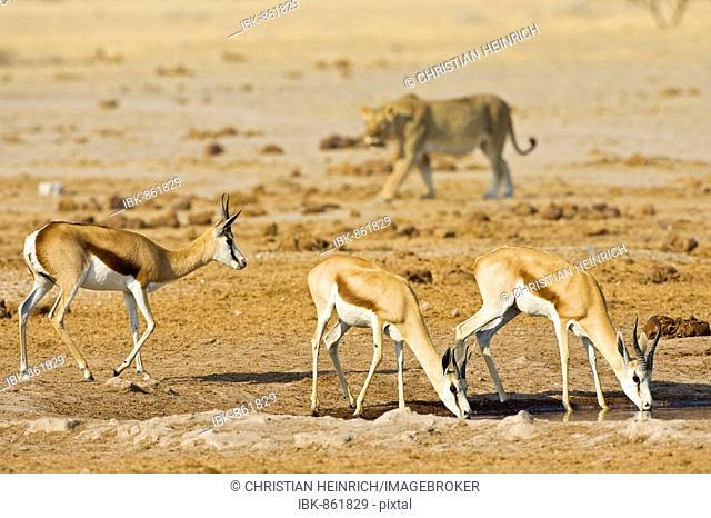 Lioness (Panthera leo) hunting for a Springbok (Antidorcas marsupialis), Nxai Pan, Makgadikgadi Pans National Park, Botswana, Africa