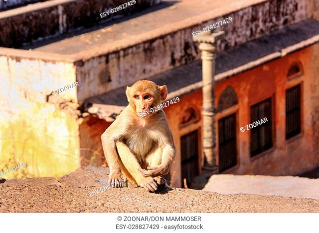 Young Rhesus macaque sitting on a wall in Jaipur, Rajasthan, India