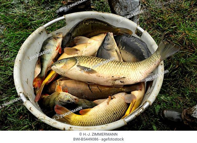 fishing a pond dry, basket with fishes, Germany, Rhineland-Palatinate, Dreifelder Weiher, Dreifelden